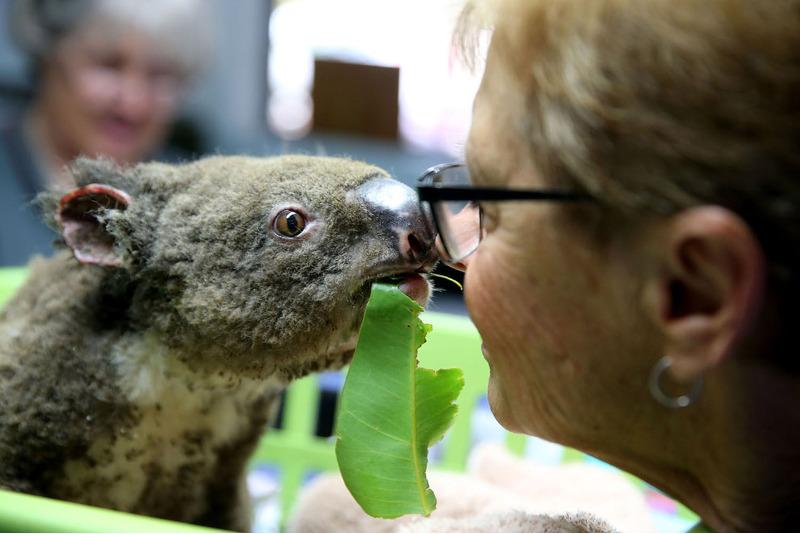 Коала по имени Паша (Поль) лечится от ожогов в центре в Порт-Маккуори, Австралия.
