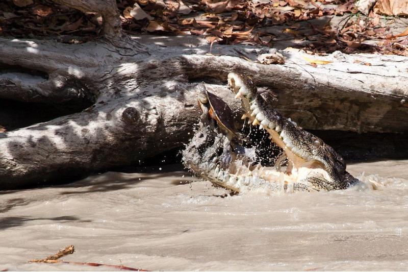 Гребнистый крокодил съел черепаху