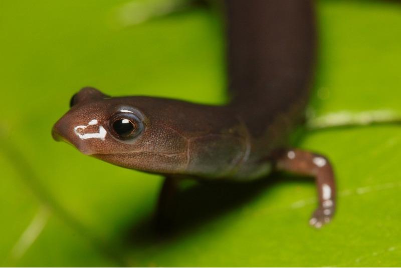 Безлёгочные саламандры