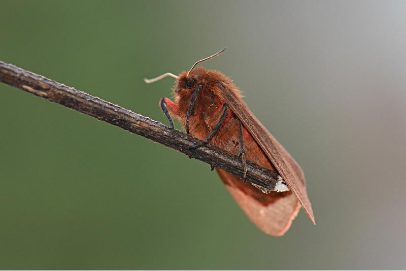 Бабочка Медведица бурая (Phragmatobia fuliginosa)
