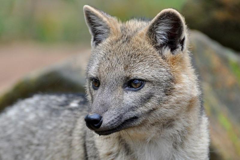 Майконг или саванновая лисица (Cerdocyon thous)