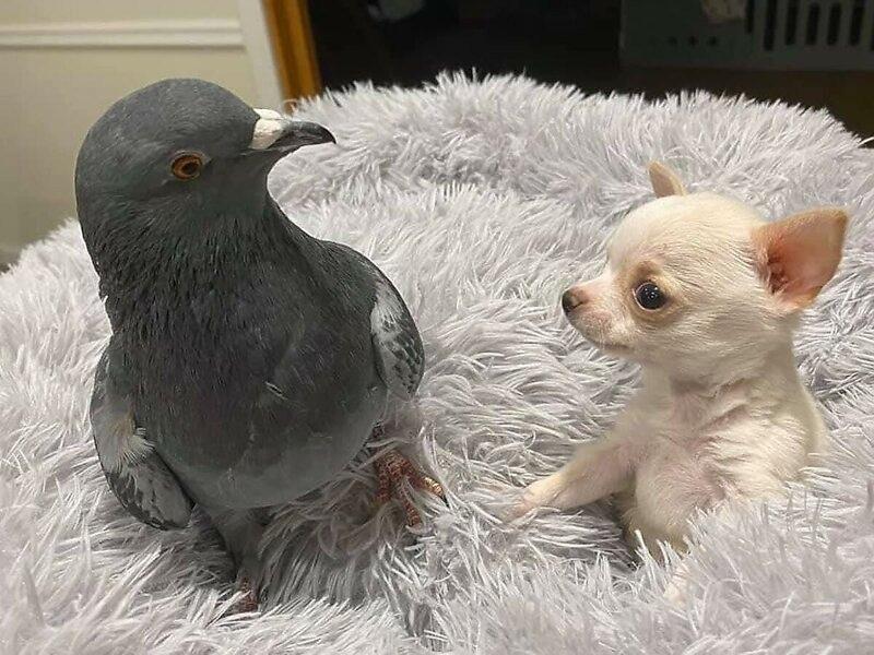 Трогательная дружба голубя и щенка