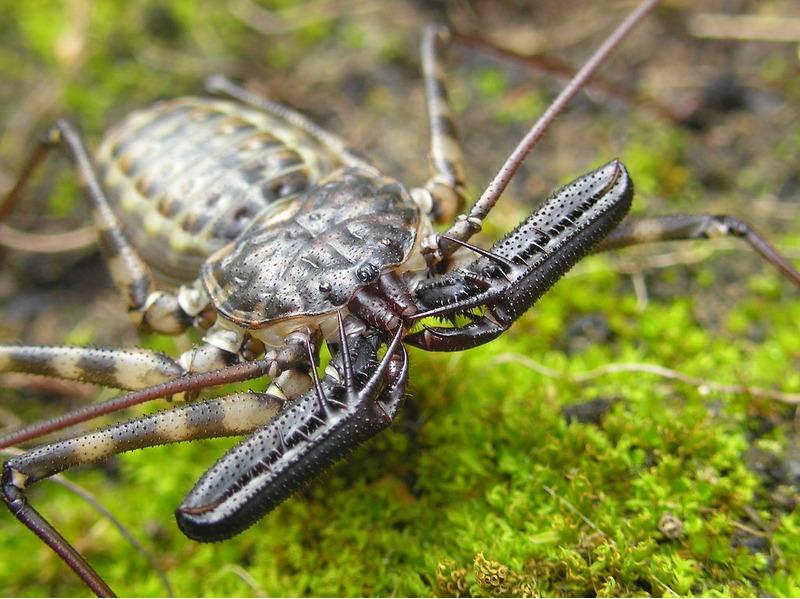 Фрины или жгутоногие пауки (Amblypygi)