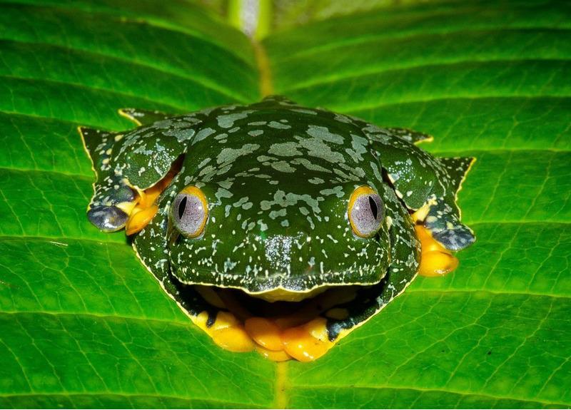 Причудливая квакша или бахромчатая древесная лягушка (Cruziohyla craspedopus)