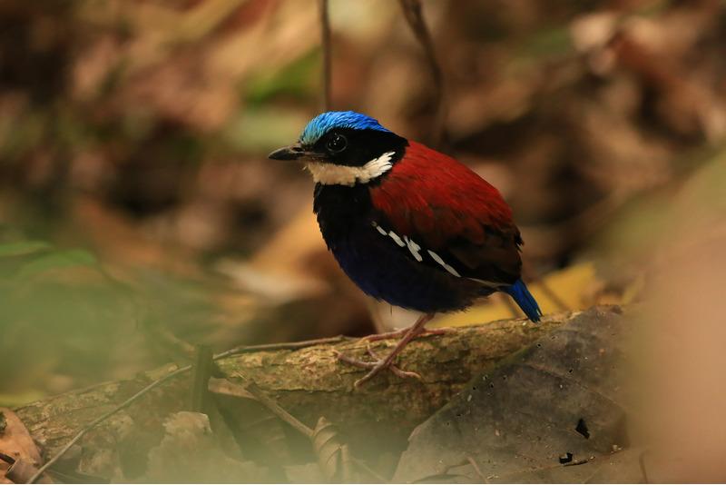 Синегрудая питта (Hydrornis baudii)