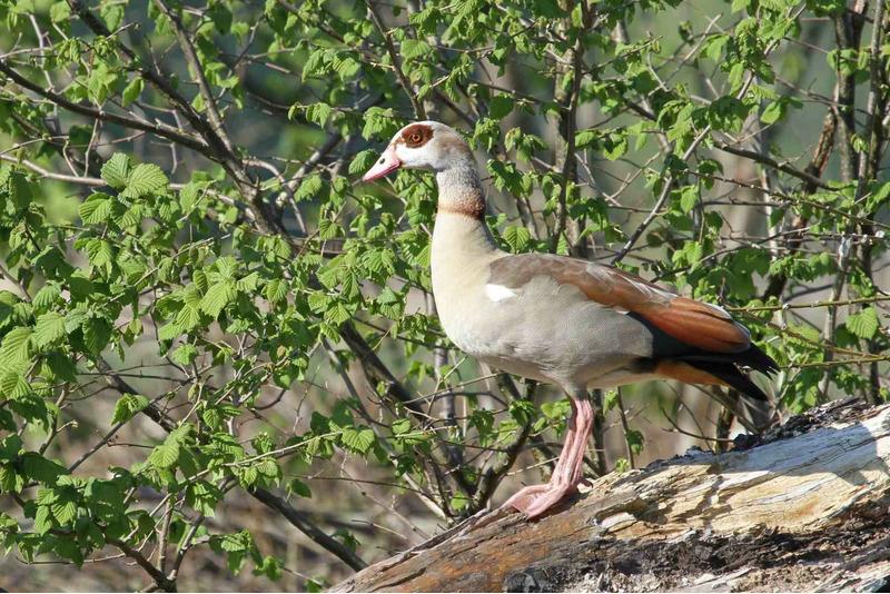 Нильский гусь или египетский гусь (Alopochen aegyptiaca)