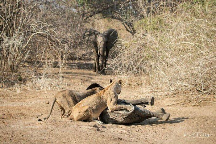 нападение львиц на слонёнка