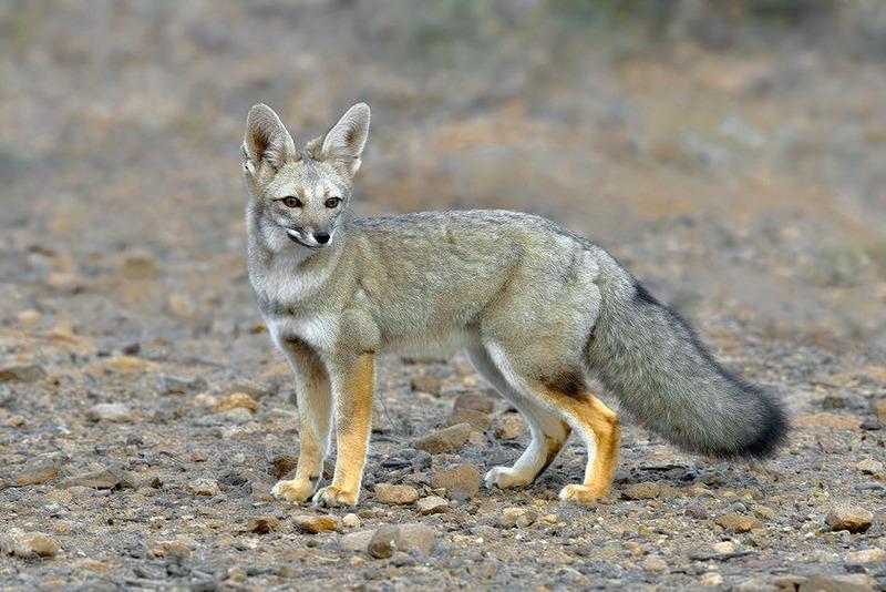 Южноамериканская лисица или аргентинская серая лисица или серый зорро (Pseudalopex griseus)
