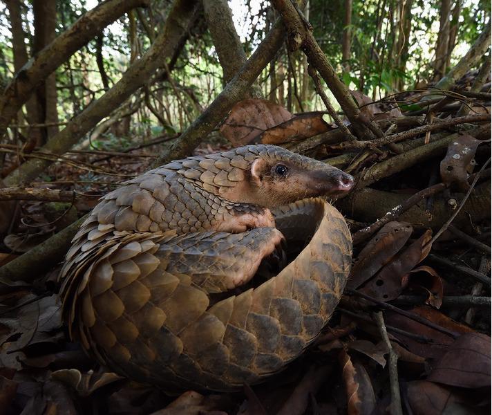Яванский ящер или индокитайский ящер, или яванский панголин (Manis javanica)