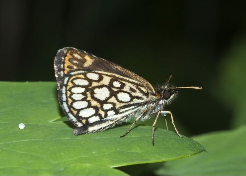 Толстоголовка морфей (Heteropterus morpheus)