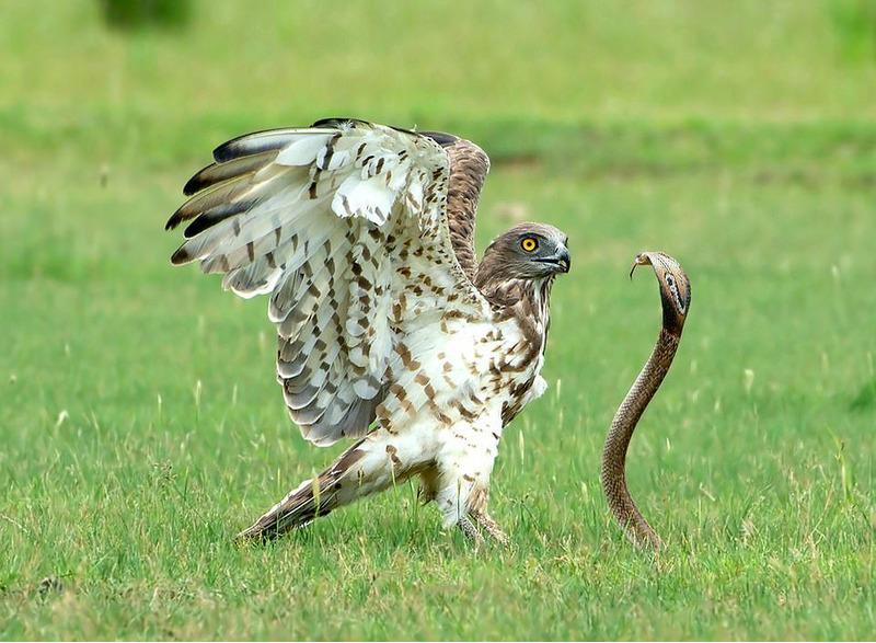 Змееяд убил и съел ядовитую кобру
