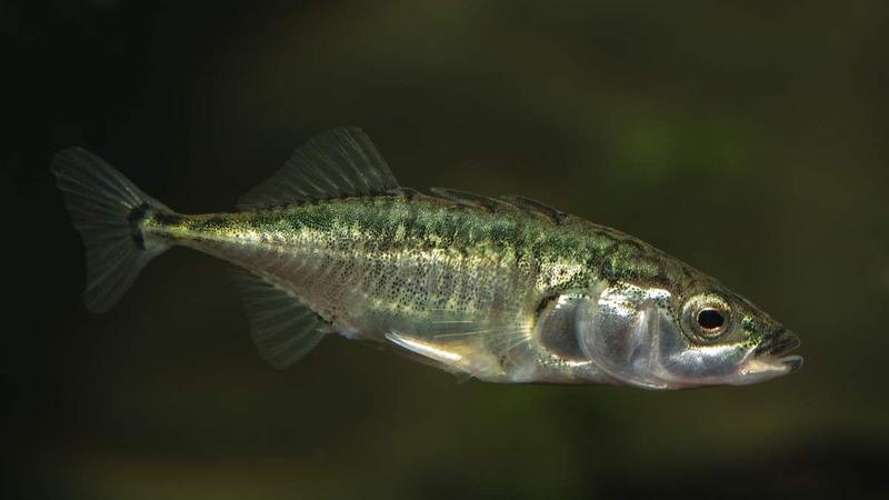 Трёхиглая колюшка (Gasterosteus aculeatus)
