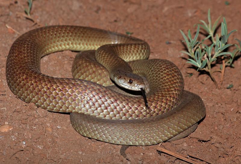 Мулга (Pseudechis australis) или коричневый король