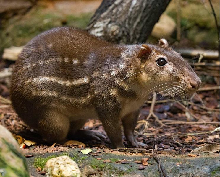 Пака (Cuniculus paca)