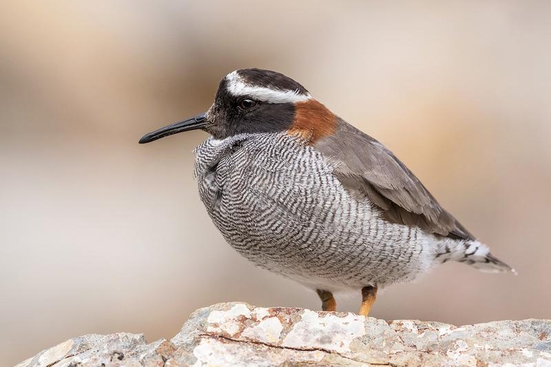 Диадемовая ржанка (Phegornis mitchellii)