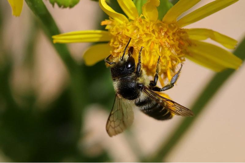 Мегахилы (Megachile)