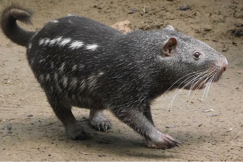 Пакарана (Dinomys branickii)