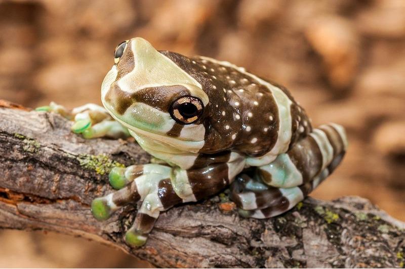 Амазонская молочная лягушка (Trachycephalus resinifictrix)