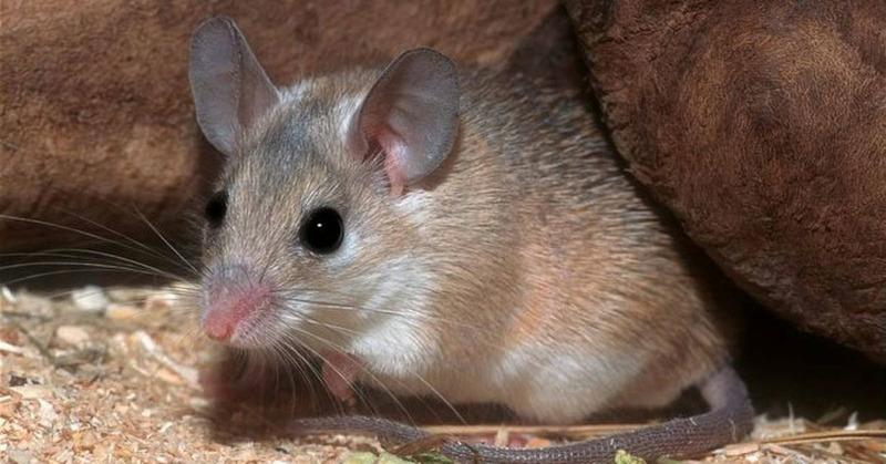 Иглистые мыши или акомисы (Acomys)