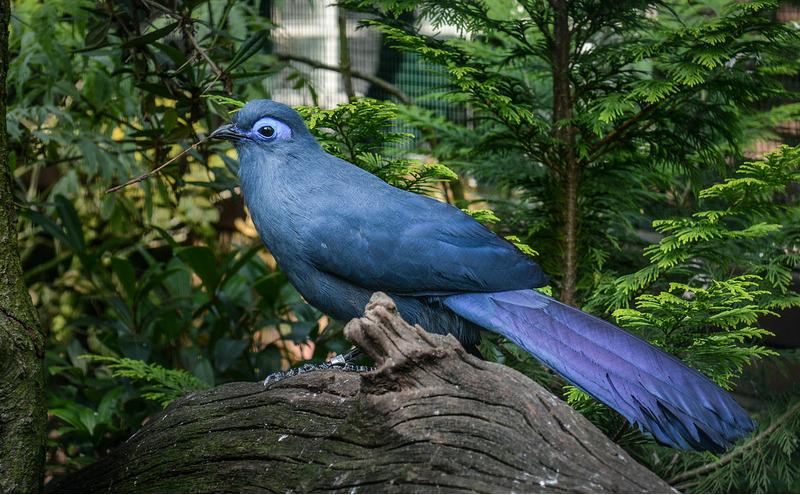Голубая мадагаскарская кукушка (Coua caerulea)
