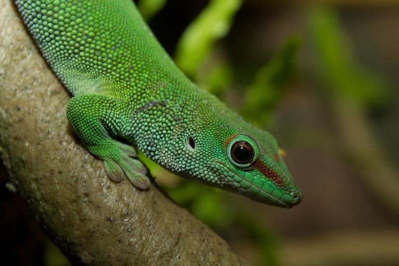 Мадагаскарский дневной геккон или зелёная фельзума