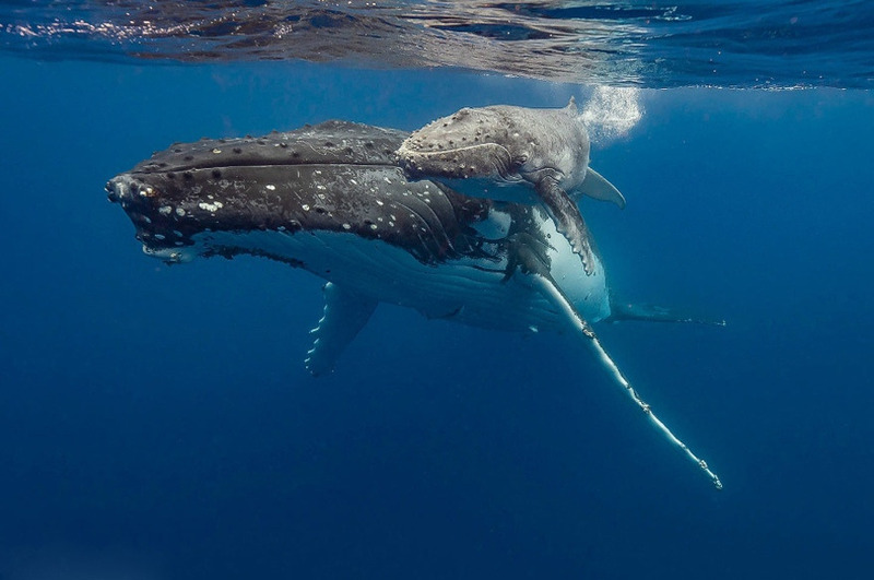 Горбатый кит с детёнышем