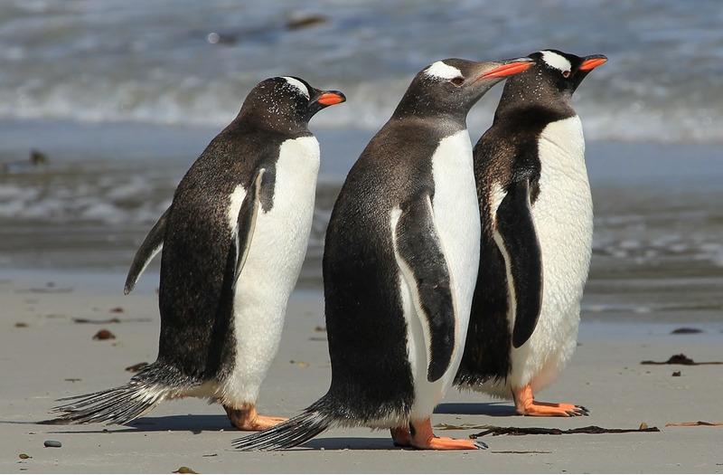 Папуанский пингвин или Субантарктический пингвин