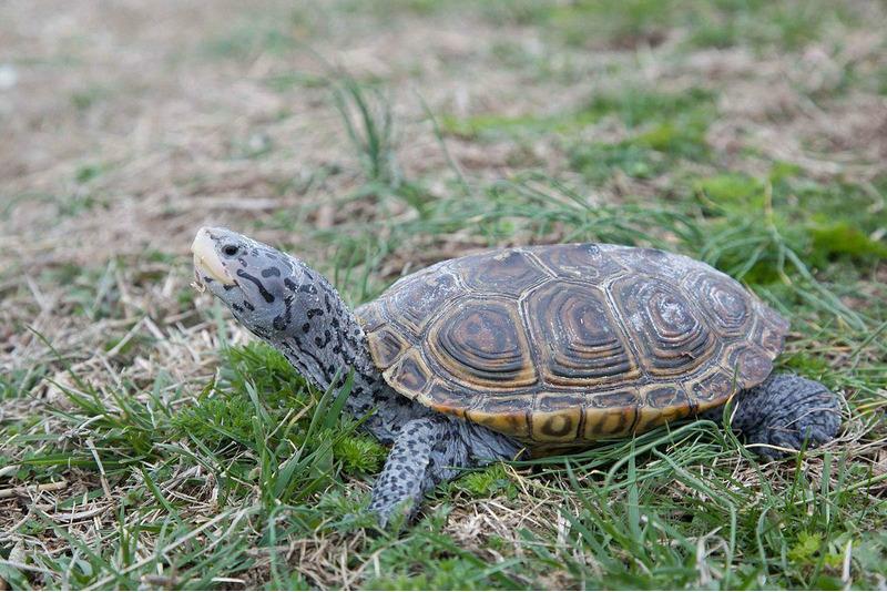 Бугорчатая черепаха или террапин