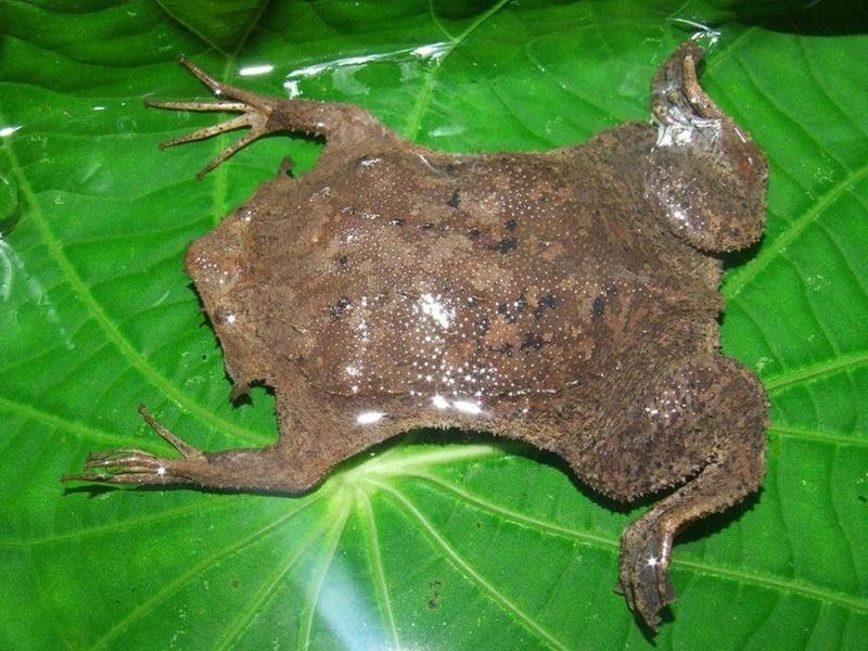 Суринамская пипа или американская пипа (Pipa pipa)
