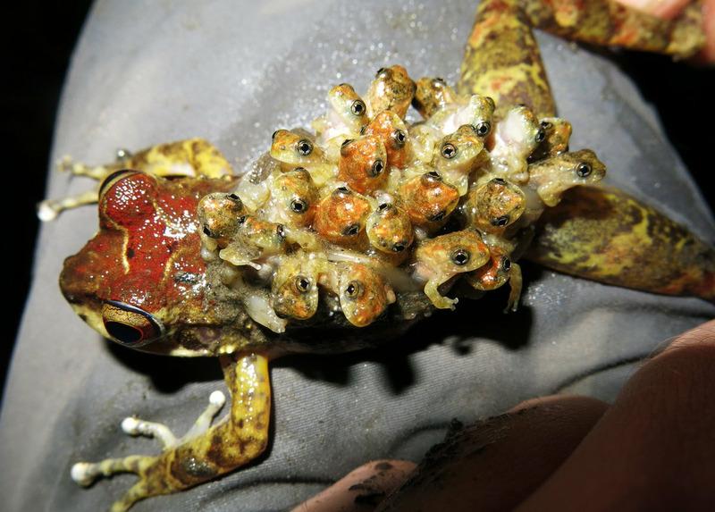 Лягушка-рюкзак Буленджера (Cryptobatrachus boulengeri)