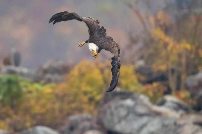 Белоголовый орлан на охоте