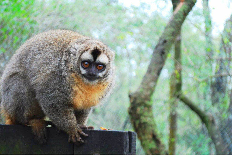 Мирикина или ночная обезьяна
