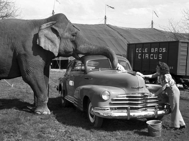 Слон из цирка помогает мыть автомобиль Chevrolet
