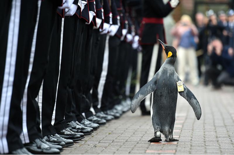 Сэр Нильс Улаф (Nils Olav) — королевский пингвин