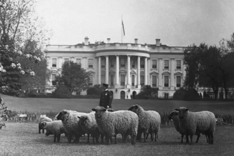 Овцы у белого дома