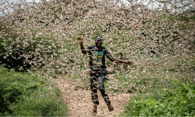 нашествие саранчи на востоке Африки