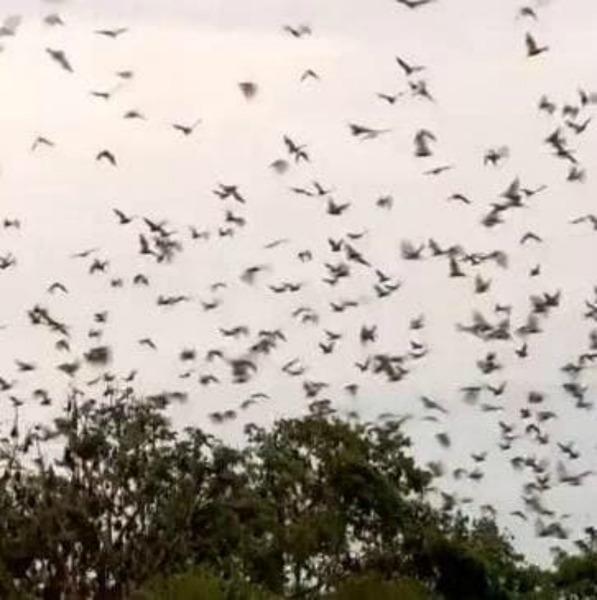 Нашествие летучих мышей в Австралии